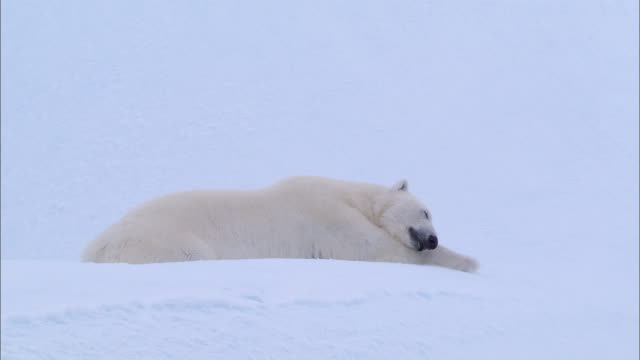 vídeos y material grabado en eventos de stock de a polar bear lying down and sleeping on the snow-covered ground in the north pole - recostarse