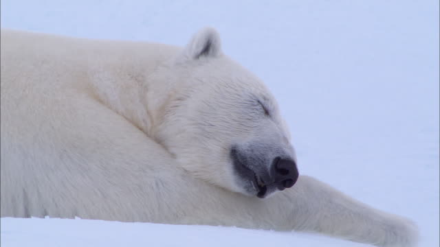 a polar bear lying down and sleeping on the snow-covered ground in the north pole - 前腕点の映像素材/bロール