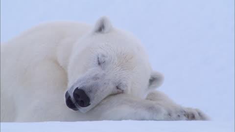 a polar bear lying down and sleeping on the snow-covered ground in the north pole - nordpolen bildbanksvideor och videomaterial från bakom kulisserna