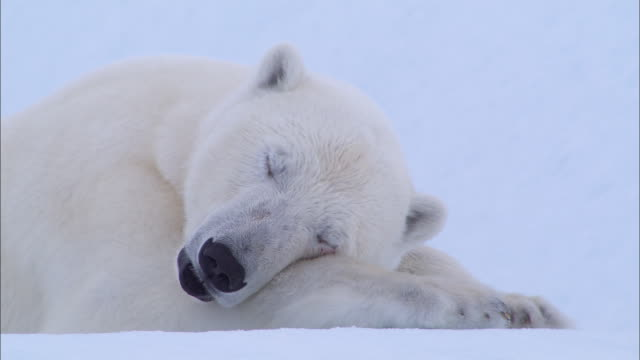 a polar bear lying down and sleeping on the snow-covered ground in the north pole - polarklima stock-videos und b-roll-filmmaterial