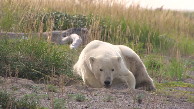 a polar bear lying down in the bushes at the north pole - 北極点の映像素材/bロール