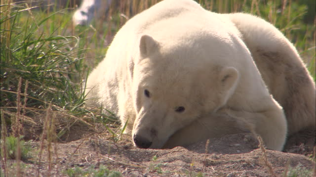 stockvideo's en b-roll-footage met a polar bear lying down in the bushes at the north pole - achterover leunen