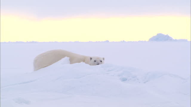 a polar bear lying down on the snow-covered ground in the north pole - kopf nach hinten stock-videos und b-roll-filmmaterial
