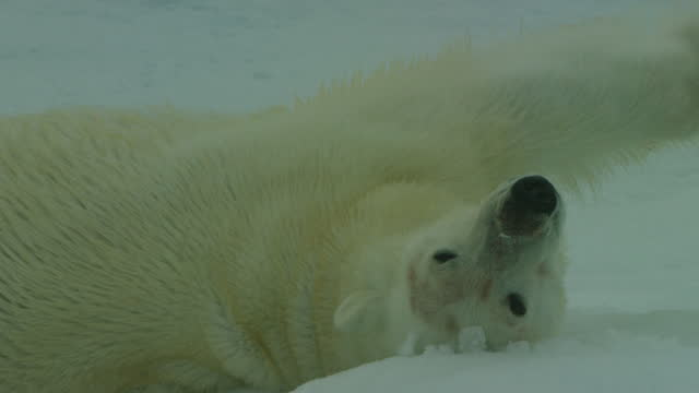 cu polar bear lying in snow and stretching - stretching stock videos & royalty-free footage