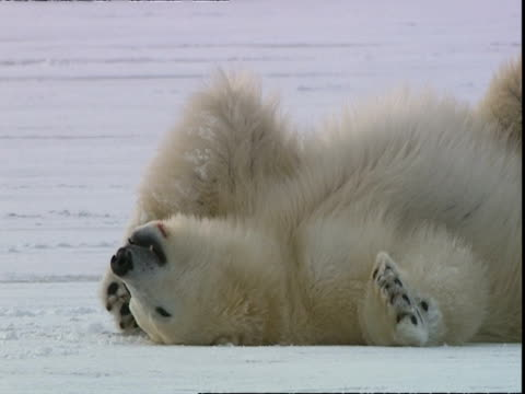 polar bear (ursus maritimus) lying on back on snow, near churchill, manitoba, canada - lying on back stock videos & royalty-free footage
