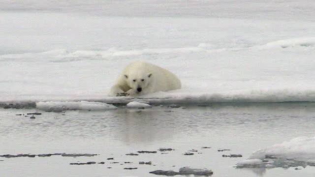 Polar bear lying on sea ice, Svalbard, Norway