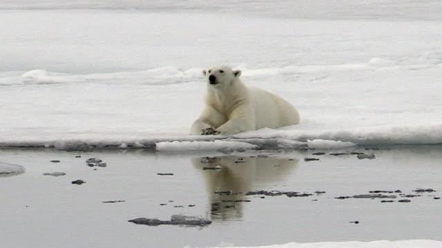 polar bear lying on sea ice, svalbard, norway - ホッキョクグマ点の映像素材/bロール