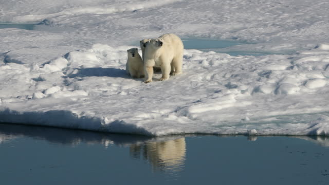 polar bear mother and cubs on arctic sea ice - three animals stock videos & royalty-free footage