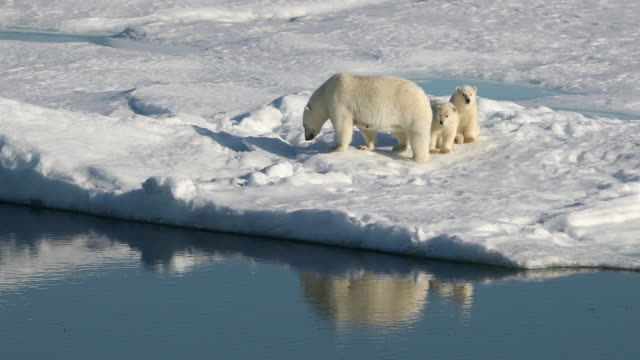 polar bear mother and cubs on arctic sea ice - cub stock videos & royalty-free footage