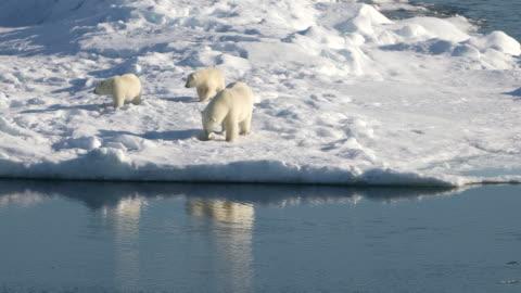 vídeos de stock e filmes b-roll de polar bear mother and cubs on arctic sea ice - ártico