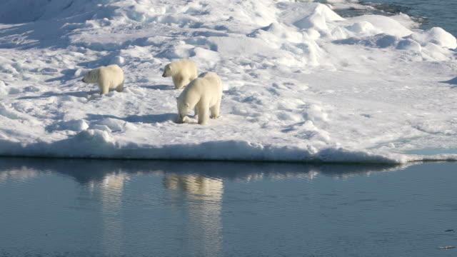 polar bear mother and cubs on arctic sea ice - clima polare video stock e b–roll