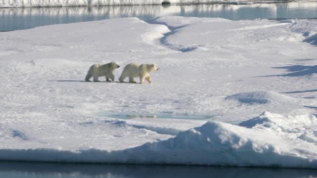 polar bear mother and cubs on arctic sea ice - 寒帯気候点の映像素材/bロール