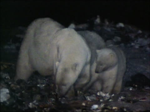Polar bear mother and two cubs scavenging in garbage dump at night / Churchill, Manitoba, Canada