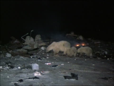 Polar bear mother and two cubs scavenging in garbage dump at night with refuse heap burning in background / Churchill, Manitoba, Canada