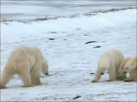 Polar bear (Ursus maritimus) mother followed by two cubs attacking adult male polar bear / Churchill, Manitoba, Canada