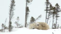 Polar Bear mother with cubs at denning site