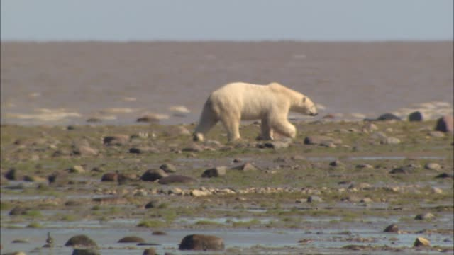 vidéos et rushes de a polar bear moving on the arctic shore - mammifère
