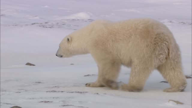a polar bear moving on the snowfield in the arctic - north pole stock videos & royalty-free footage