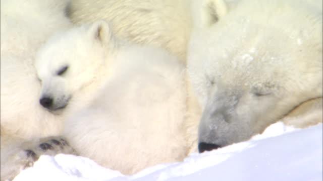 a polar bear naps with her cubs. - bärenjunges stock-videos und b-roll-filmmaterial