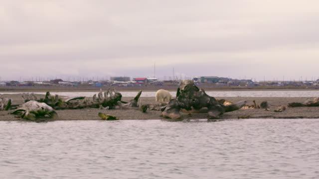polar bear near whale bone alley in north pole - menschliche siedlung stock-videos und b-roll-filmmaterial