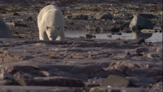 A polar bear on coast sniffs the air in the Canadian Arctic. Available in HD.