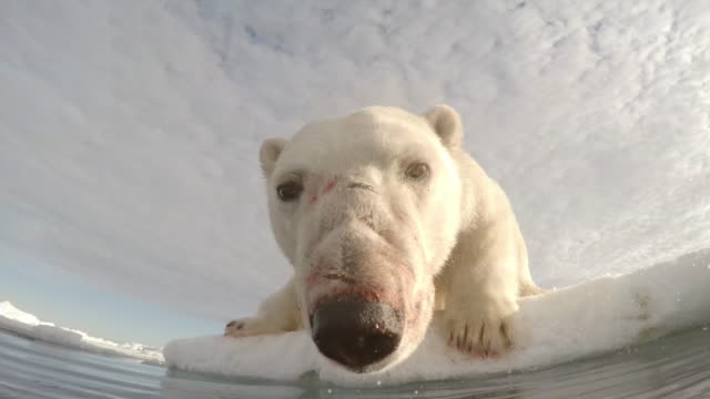 la polar bear on edge of ice floe leans towards camera to sniff at lens - searching stock videos & royalty-free footage