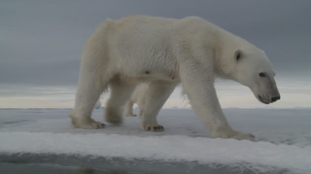 Polar bear on edge of sea ice, Svalbard, Norway.