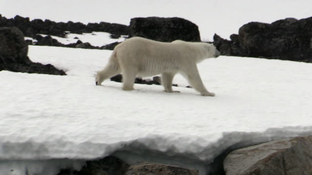 polar bear on rocks, svalbard, norway - polarklima stock-videos und b-roll-filmmaterial