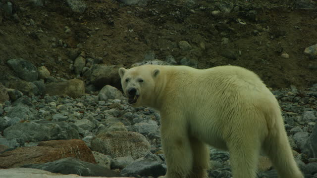 polar bear on rocky beach cleans blubber from its front paw - arctic stock videos & royalty-free footage