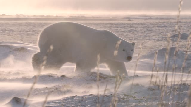 polar bear on tundra at sunrise, canada - differential focus stock videos & royalty-free footage