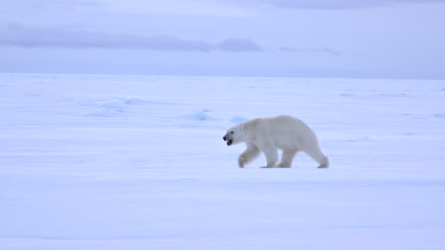 polar bear patrolling the barren ice floes of northern baffin island, arctic canada. - male animal stock videos & royalty-free footage