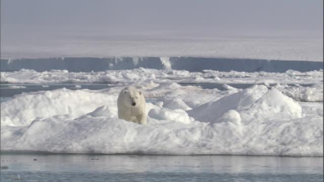 a polar bear pauses on an ice floe in svalbard, norway. - polar bear stock videos and b-roll footage