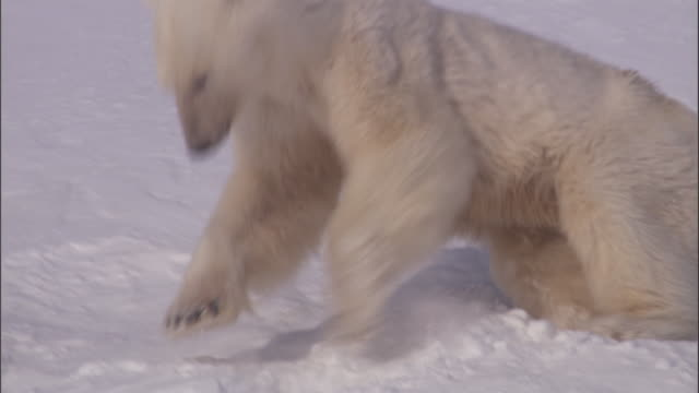 A polar bear paws at the snow on Svalbard, Norway.