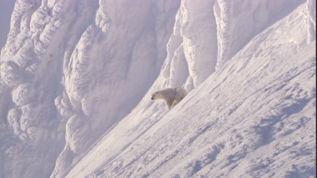 a polar bear peers around on a snowy slope on svalbard, norway. - bear stock videos and b-roll footage