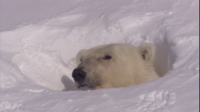 a polar bear peers out of its den on svalbard, norway. - loch stock-videos und b-roll-filmmaterial