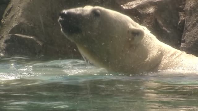 Polar Bear Plays In Water at Lincoln Park Zoo on July 18 2013 in Chicago Illinois
