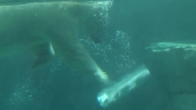 Polar Bear Plays With Ice Block In Water at Lincoln Park Zoo on July 18 2013 in Chicago Illinois