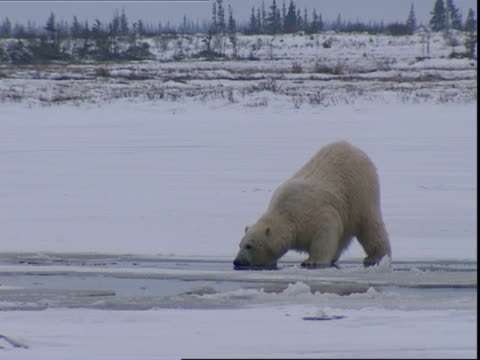 Polar bear (Ursus maritimus) pulling seaweed from ice hole