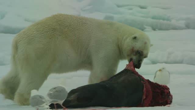 ms pan polar bear pulls at seal carcase in snow and glaucous gulls approach - seagull stock videos & royalty-free footage