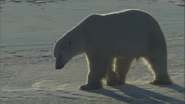 a polar bear pushes itself across the ice and then rolls over in churchill, canada. - 滑る点の映像素材/bロール
