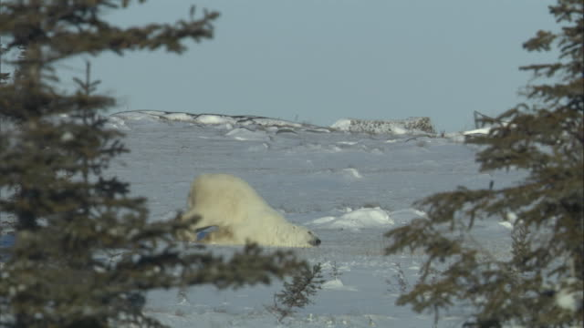 a polar bear pushes itself across the ice in churchill, canada. - sliding stock videos & royalty-free footage