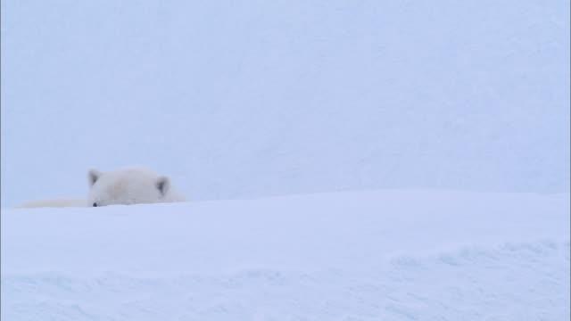 a polar bear raising his head on the snow-covered ground in the north pole - kopf nach hinten stock-videos und b-roll-filmmaterial