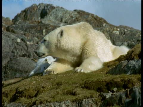 polar bear reclines with cub, svalbard, norway - babyhood stock videos & royalty-free footage