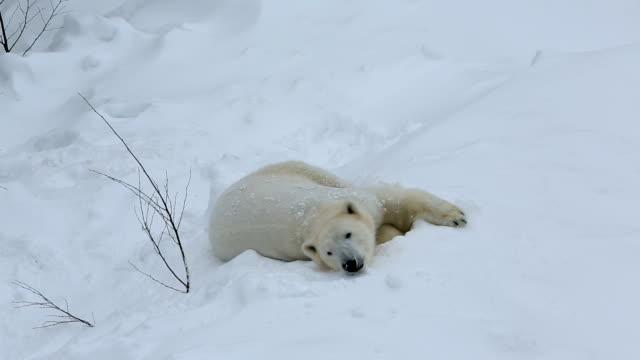 polar bear relaxing snow covered wildlife park ranua finland  - northern hemisphere stock videos & royalty-free footage