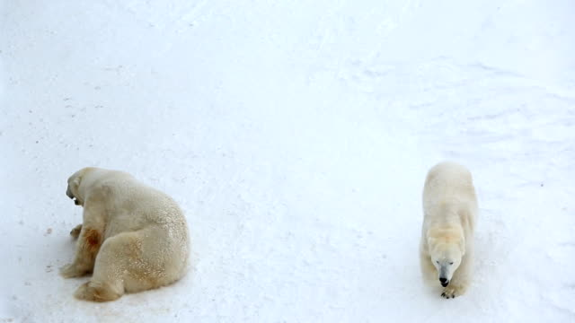 polar bear relaxing snow covered wildlife park ranua finland  - peter snow stock videos & royalty-free footage