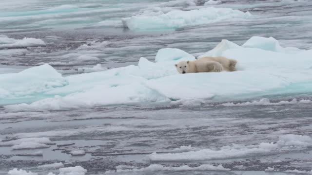 vídeos de stock, filmes e b-roll de polar bear resting on the ice - pólo norte