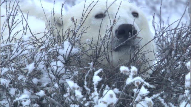 a polar bear rests its head in a bush and nods back to sleep. - hiding stock videos & royalty-free footage