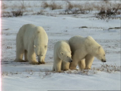 a polar bear rests while her cubs forage on a snowy field. - 水の形態点の映像素材/bロール