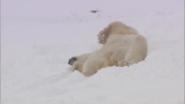 a polar bear rolling around the snowfield in the arctic - animal hair stock videos & royalty-free footage