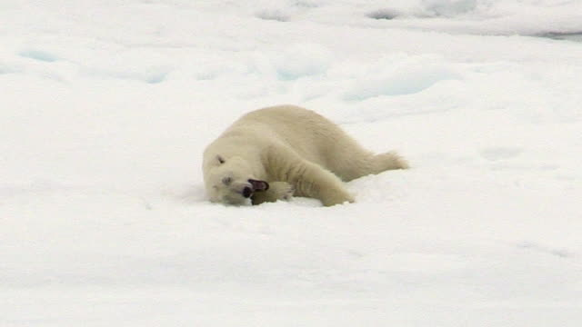 vidéos et rushes de polar bear rolling in snow, svalbard, norway - bâiller